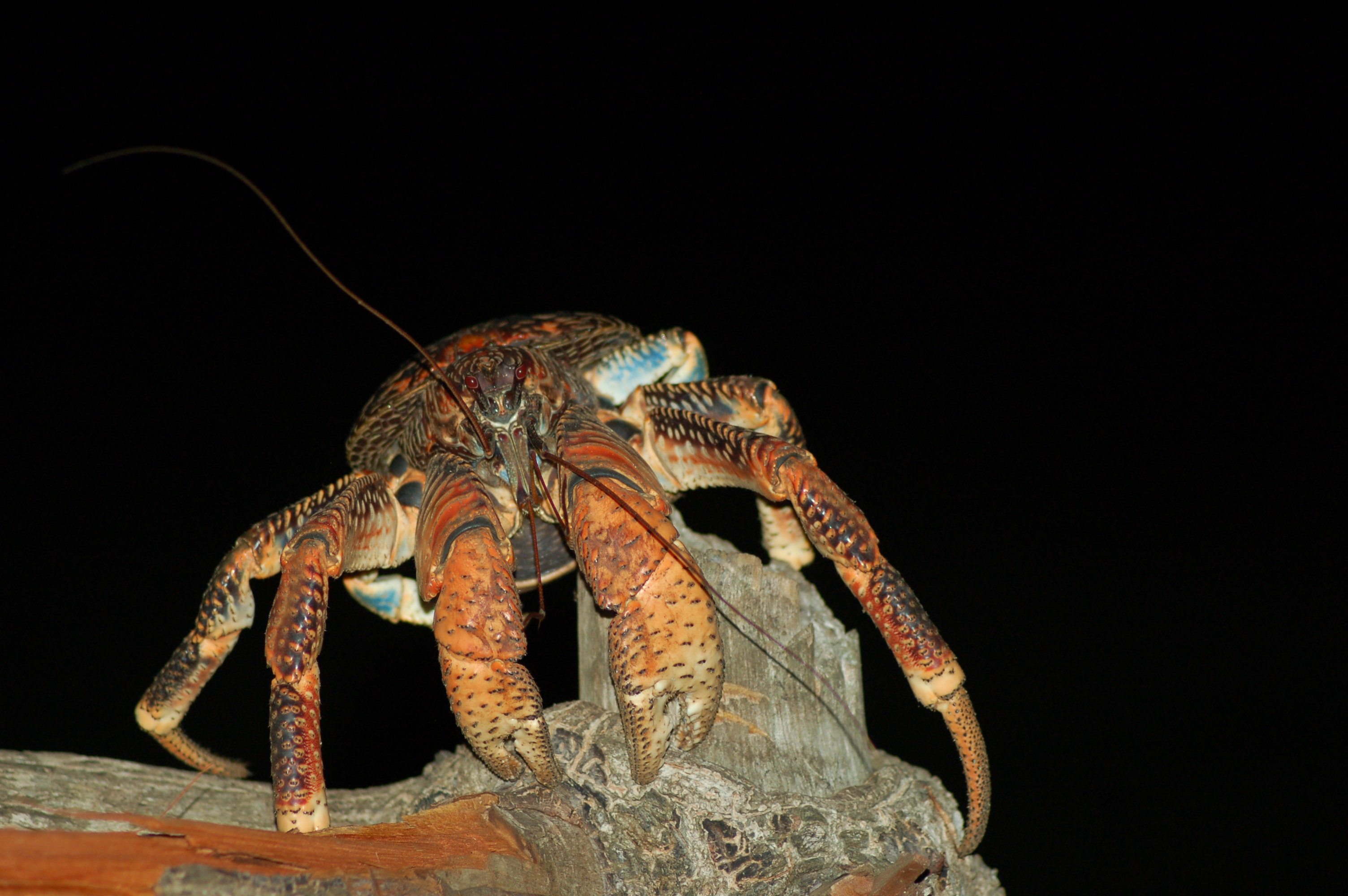 Red coconut crab Tim Caro