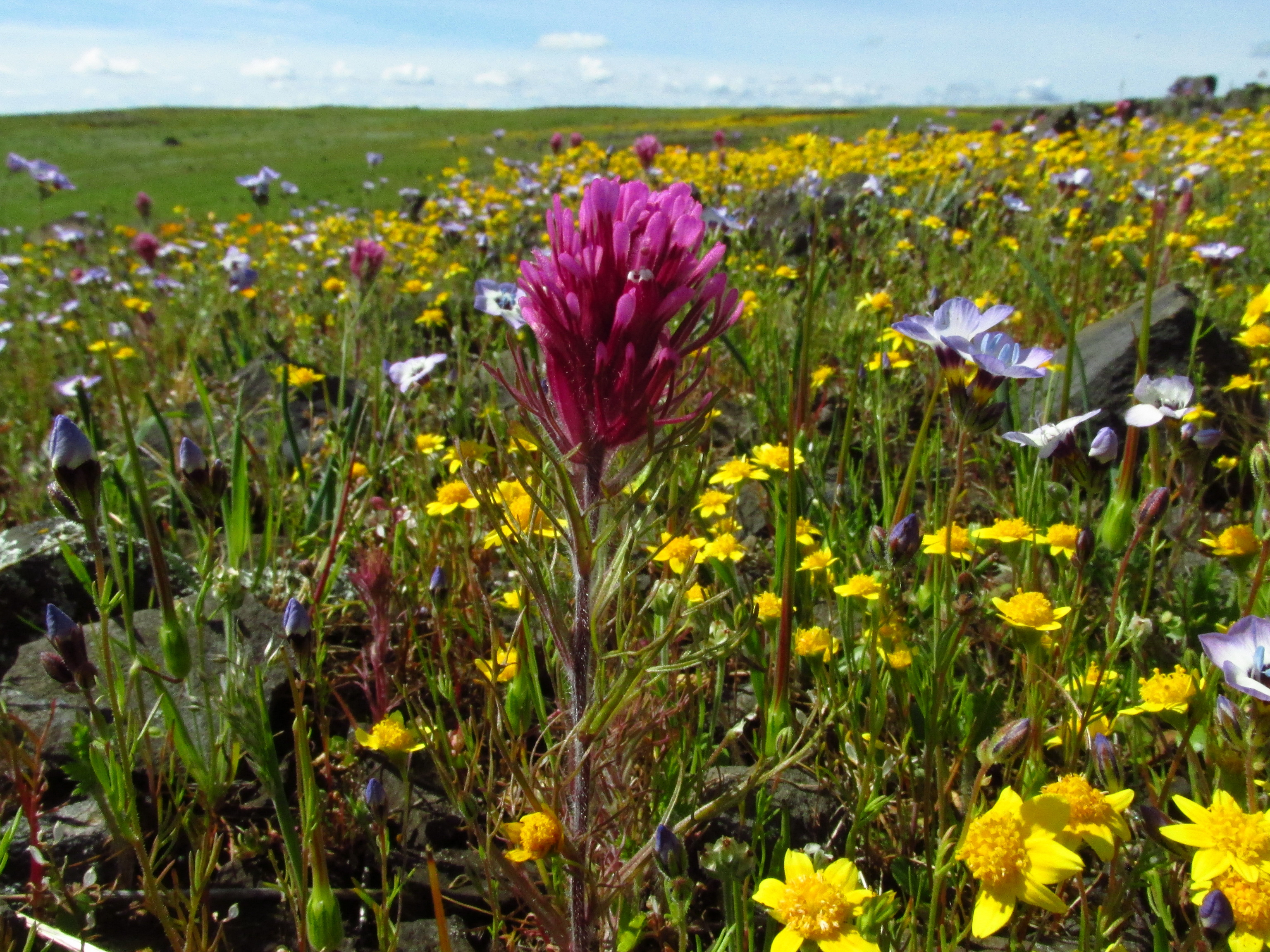 Wildflowers at Table Mountain Jenny Gremer